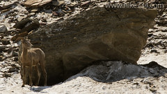 """Bighorn Sheep • <a style=""""font-size:0.8em;"""" href=""""http://www.flickr.com/photos/63501323@N07/14902994911/"""" target=""""_blank"""">View on Flickr</a>"""