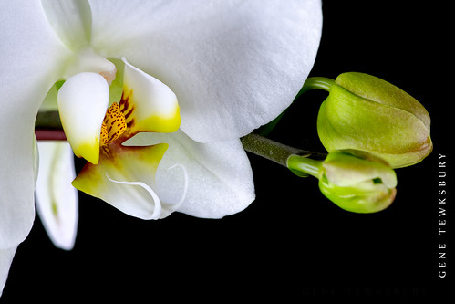 white orchid_1000_02-20-13-tewksbury-Edit-2