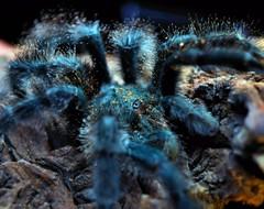 Avicularia metallica (_papilio) Tags: macro canon spider nikon arachnid tarantula invertebrate papilio arthropod theraphosidae mpe65 sigma150mmapomacro d800e