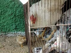 Cocoric (2) (jemaambiental) Tags: fauna galinha ave pintinho