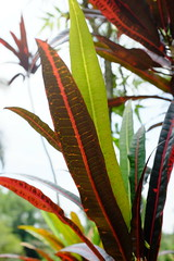 Red and green leafed plants, Bukit Brown (Jnzl's Photos) Tags: brown cemetery singapore greenery tombs bukit publicdomain exhumation