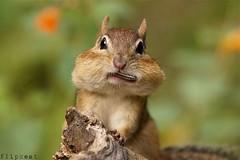 Bigmouth Strikes Again (flipkeat) Tags: portrait nature face animal closeup fun mammal interesting funny wildlife sony awesome canadian chipmunk eastern alvin chippie tamias a500 dailynaturetnc13