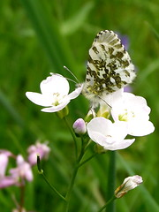 marble white (menchuela) Tags: insects wildflowers floressilvestres whiteflowers floresblancas marblewhite butterflies menchuela british flora