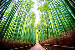 Arashiyama Bamboo Forest in Sagano, Kyoto, Japan (Daniel Peckham) Tags: travel japan forest japanese kyoto bamboo arashiyama hdr sagano thebestofhdr