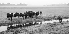 Photographing Cows (genf) Tags: morning white mist black early photographer ditch cows sony meadow zwart wit weiland ochtend koeien sloot a77 fotograaf ochtendmist
