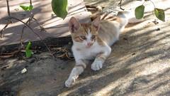 Pefkos Cat (deltrems) Tags: cat greek kitten pussy greece pefkos rhodes pussycat feral pefki