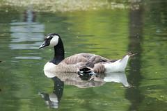 Canada Goose (Padeia) Tags: park bird water animal canon germany pond goose gans spiegelbild canadagoose vogel mnchengladbach 2014 kanadagans weiher publicpark padeia bellerpark