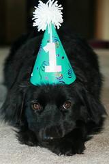 IMG_4626 (windy234) Tags: birthday rescue cute dogs wisconsin puppy mutt labrador fluffy darwin retriever blackdog happybirthday oneyear funnyhat windy234