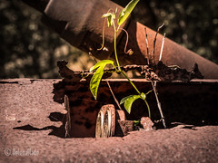 Peeping out (HelenaSlade Photography) Tags: old abandoned rust australia rusted queensland farmthings