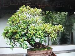 Penjing tree (FernShade) Tags: canada tree nature landscaping urbannature bonsai fengshui chinesegarden vancouverbc drsunyatsenclassicalchinesegarden asianart gardendesign mingdynasty penjing mingdynastygarden vancouverchinesegarden penjingtree