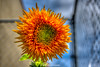 Giant Sungold Sunflower (dbubis) Tags: flower florida sunflower bloom fl hdr sungold bubis parkseed dbphoto dbubisphoto