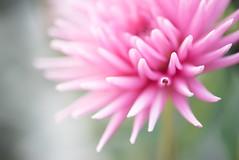 dahlia (Vicki Maher Thank you for 200,000 views!) Tags: pink dahlia summer abstract flower detail macro nature garden petals flora soft bokeh chicagobotanicgarden abstractnature fluer parkprincesscollarettedahlia