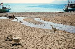 Beach duck and beach goose (Melissa Maples) Tags: sea summer beach water birds animals ferry turkey boat duck nikon asia mediterranean trkiye goose nikkor vr afs  18200mm butterflyvalley  f3556g  18200mmf3556g kelebeklervadisi d5100