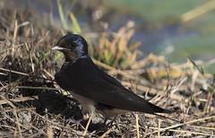 Rondine_avifauna (VinTer59) Tags: bird nature natura uccelli swallow avifauna oasi rondine nikond300s