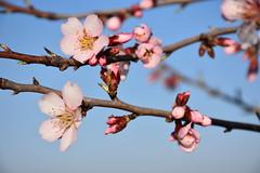 Ametllers florits (esta_ahi) Tags: elplademanlleu ametller almendro almondtree flor flora flores floración prunusdulcis prunusamygdalus rosaceae aiguamúrcia altcamp tarragona españa spain испания