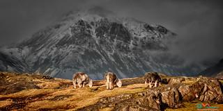 Three Sheep and a Mountain