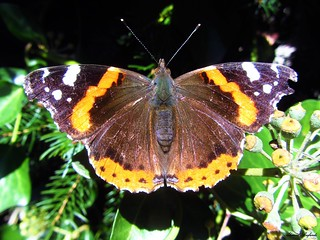 Butterfly 1183