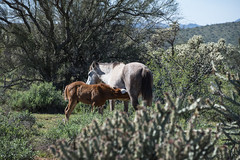 (valeriecozart) Tags: saltriver birds colts desert filly flowers green mares ponies spring stallions wildhorses yearlings