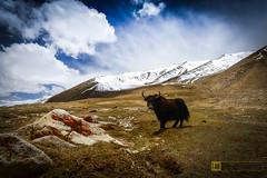 Ladakh, Yak.