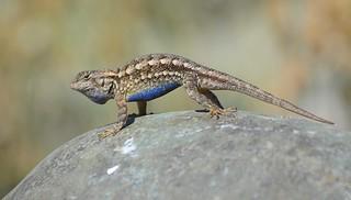 Western Fence Lizard, male displaying