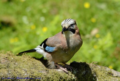 Jay Juvenile. (spw6156 - Over 5,089,379 Views) Tags: light copyright jay steve  cropped juvenile waterhouse iso1250last