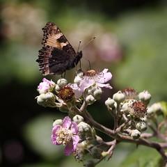 140629 Small Tortoiseshell Benflleet Downs JPEG (Miles Attenborough) Tags: downs small butterflies tortoiseshell benfleet