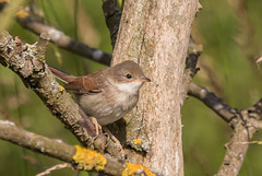 Whitethroat-2369 Explored. (WendyCoops224) Tags: nature canon eos deep shy undercover whitethroat 70d 100400mml localbirdswildlife