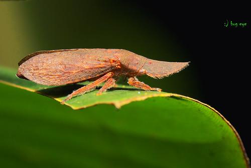 Planthopper?