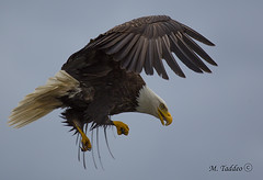 bald-eagles-0237 (Mike Taddeo) Tags: bird mike canon fly eagle bald raptor eagles