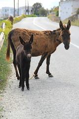 burros of folegandros (apalucia) Tags: donkey greece burro folegandros foal