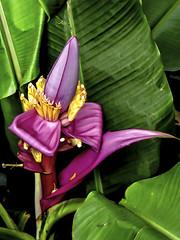 Banana Flower (mutrock) Tags: 2005 usa plant flower island hawaii unitedstates bigisland hawaiitropicalbotanicalgarden bananaplant hawaiianislands