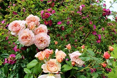 Lotta roses (Kreuk1) Tags: pink roses colour english rose garden purple gardening waddesdon pale colourful manor