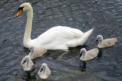 Family of Swans (MalB) Tags: cambridge bird swan pentax cam cygnet k5