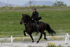 Hamar fr Kringlu 8v. (Kjartansstadir Breeding Farm) Tags: b horses sport for iceland sale 5 top quality south 4 competition breeding v1 t1 t2 icelandic gaited a flokkur gingakeppni