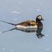 Long-tailed Duck (Clangula hyemalis) adult male