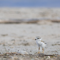 Piping plover chick (BruceK) Tags: wasagabeach pipingploverchick
