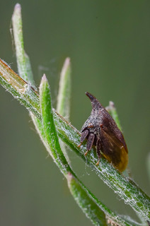 Western Thornhopper