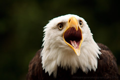 Bald Eagle Portraits (14 of 15) (Tristan Rayner) Tags: vancouverisland eagles baldeagles