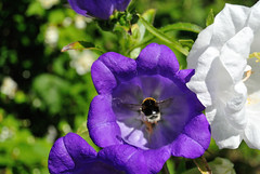 bumblebee &  blue & white bellflowers (Mary-Franky, back now but still very busy:)) Tags: flowers summer nature bees insects bumblebees