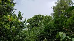 jdy164 XX20140613s134716.jpg (rachelgreenbelt) Tags: viburnum floweringplants magnoliaceae magnoliophyta magnoliidae eudicots adoxaceae viburnumplicatum asterids dipsacales familymagnoliaceae familyadoxaceae magnoliaceaefamily ordermagnoliales orderdipsacales genusviburnum magnoliavirginianasantarosa spermatophytes magnoliaall adoxaceaefamily viburnumgenus dipsacalesorder asteridsclade campanulidsclade clademagnoliidae