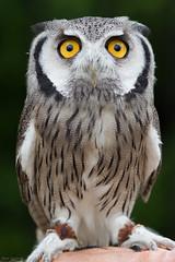 Far Out (Mark Dumont) Tags: bird birds animals zoo mark cincinnati owl dumont explored