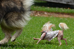 """Zarro and LuLu Going For the Flag Part 3 • <a style=""""font-size:0.8em;"""" href=""""http://www.flickr.com/photos/96196263@N07/14696304138/"""" target=""""_blank"""">View on Flickr</a>"""