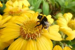 Bee in yellow (Steenjep) Tags: flower macro closeup bee bi humlebi s6400