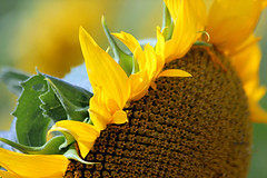 SUNBATHING ----- (A Picture is Worth ---) Tags: flowers sunflowers sunbathing yellowflowers flowercloseup summerflowers happyflowers soakingupthesun