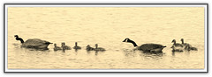 Canada Geese Family In Sepia (bigbrowneyez) Tags: park family bw panorama nature wet beautiful birds sepia swimming river geese drops wings afternoon famiglia ripple feathers natura special goslings fabulous sweetness belli canadageese ottawariver delightful impressionante cornice oche paperi andewhaydonpark canadageesefamilyinsepia