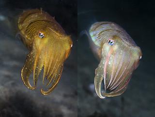 Cuttlefish Quiz
