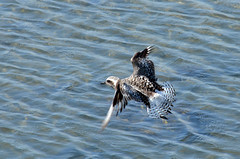 Black-bellied Plover at Bolsa Chica wetlands, CA (OC Hiker) Tags: california birds orangecounty pluvialissquatarola blackbelliedplover bolsachicawetlands  afsdxnikkor55300mmf4556gedvr nikond5100 07262014
