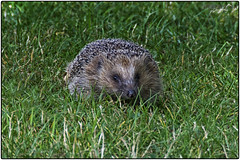 Hedgehog (Erinaceus Europaeus) (Sharon Dow Photography) Tags: uk wild english nature mammal countryside nikon european wildlife hedgehog spines spikes naturalworld britishwildlife prickles erinaceus erinaceuseuropaeus erinaceinae erinaceidae d7100 erinaceomorpha commonhedgehog nikond7100 sharondowphotography
