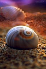 - calore radente - (swaily ◘ Claudio Parente) Tags: closeup mare conchiglia d300 nikond300 swaily