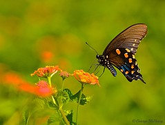 Spicebush Swallowtail (Papilio Troilus) (George McHenry Photography) Tags: butterflies swallowtails spicebushswallowtails papiliotroilus